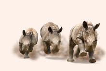 Breitmaulnashorn (Ceratotherium Simum) Jungtiere Verspielt In Vollem Lauf, Staubwolke