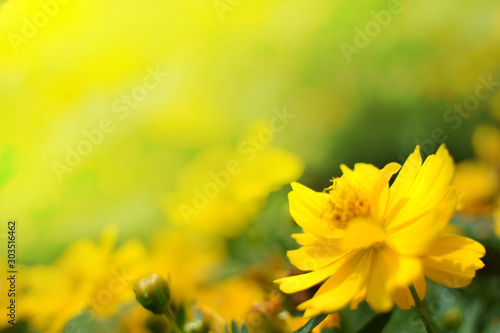 Fototapeta closeup nature view of green yellow flowers in garden at summer. natural green plants landscape using as a background or wallpaper obraz
