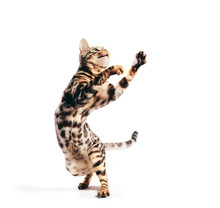 Bengal Cat Standing In Funny Pose As If Dancing. Isolated On White
