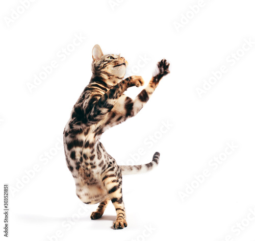 Fototapeta Bengal cat standing in funny pose as if dancing. Isolated on white obraz