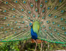 Portrait Of A Peacock On The Background Of His Tail. Close-up. Sri Lanka. Yala National Park