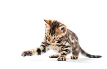 Bengal Cat Hunting And Catchin...