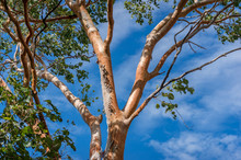 Swamp Bloodwood Or Corymbia Pt...