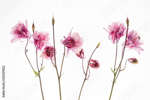 aquilegia flower on the white background