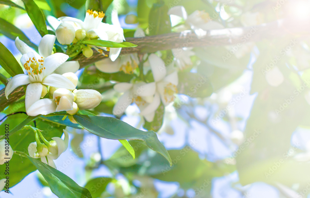Fototapeta Orange branches with flowers and green leaves in the blue sky and sunlight
