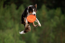 Sport With A Dog. Border Colli...