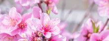 Beautiful And Elegant Pale Light Pink Peach Blossom Flower On The Tree Branch At A Public Park Garden In Spring, Japan. Blurred Background.