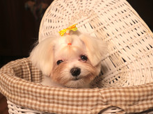 Little Maltese Puppy Is Sittii...