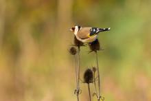 European Goldfinch , Carduelis...