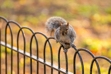 Squirrel In St James Park, Lon...