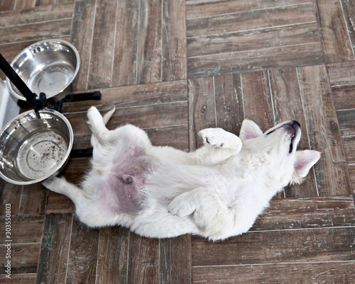 Fotografie, Tablou Satiety puppy dog ​​breed Labrador Retriever lies near an empty bowl belly up