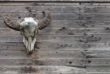 Buffalo Head Bone Hanging On The Old Wooden Wall. Buffalo Head Bone Hangs On The Wall Is A Decoration Symbol Of Cowboy Country House In American Farm And House.