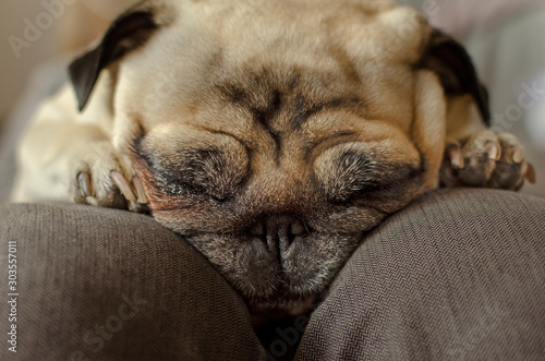 Foto  dog breed pug sleeping on master's knees