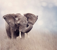 African Elephant In The Grassl...