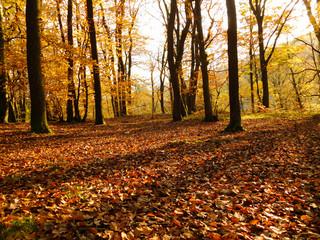Forêt en automne avec grand troncs sombres et feuilles dorées dans les arbres et feuilles mortes au premier plan