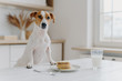 Jack russell terrier keeps both paws on table with pancakes, glass of milk, poses against kitchen background. Delicious food. Pedigree dog in modern apartment