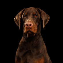 Portrait Of Brown Doberman Dog...