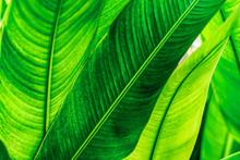 Tropical Banana Leaf Texture, ...