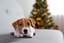 Adorable Little Puppy Of Jack Russell Terrier As Holiday Present.