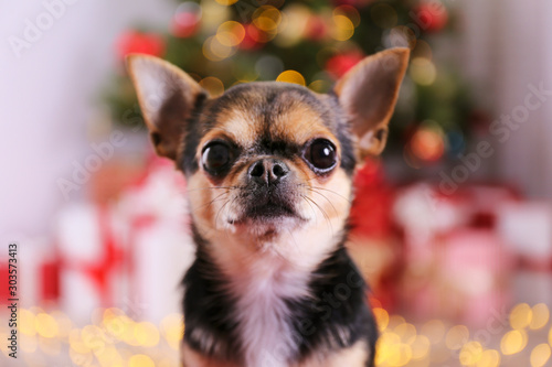 Mini chihuahua puppy as christmas present for children concept Fototapete
