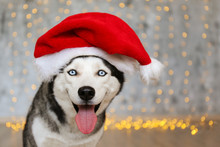 Black And White Siberian Husky On Christmas Eve Concept. Adorable Doggy Wearing Santa Claus Hat, Sitting On The Floor Over The Bokeh Effect Festive Lights . Festive Background, Close Up, Copy Space.