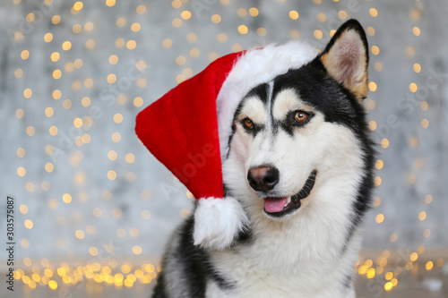 Photo Black and white siberian husky on Christmas eve concept