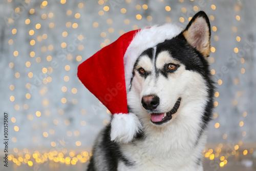 Black and white siberian husky on Christmas eve concept Canvas Print