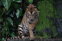 Tiger Show Tongue Sitdown Tone Dark