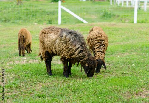 Fototapeta Sheep Grazing in a Green Field