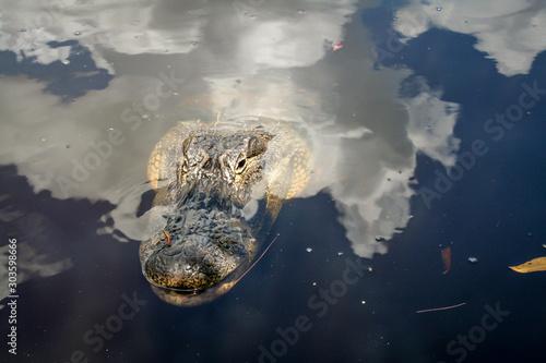 Printed kitchen splashbacks Crocodile Der Kopf eines Aligators in Floridas Everglades schaut aus dem Wasser