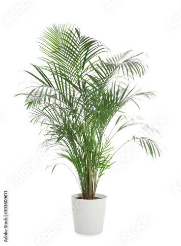 Stampa su Tela Pot with Ravenea rivularis plant isolated on white. Home decor