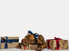 Pretty, Charming Puppy Of Chocolate Color And Bright Boxes With Gifts. Close-up, Isolated Background. Studio Photo, White Color. Concept Of Care, Education, Obedience Training And Raising Pets