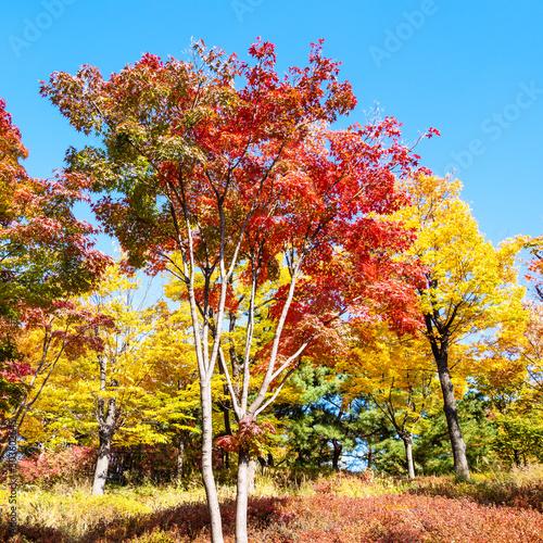 Spoed Fotobehang Meloen red maple trees in park on sunny autumn day