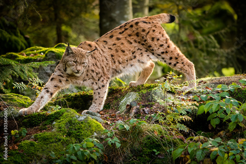 Eurasian lynx in the natural environment, close up, Lynx lynx Wallpaper Mural