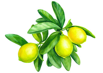 Panel Szklany Do jadalni lemons on a branch on isolated white background, watercolor illustration