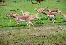 A Herd Of Jumping Blackbuck, Latin Antelope Cervicapra