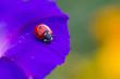canvas print picture - ladybug