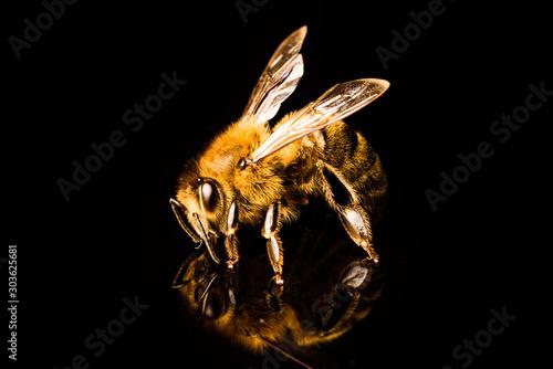 Honey bee macro, isolated on black background. Bee concept. Fototapete