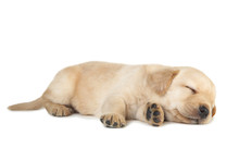 Labrador Puppy Isolated On Whi...