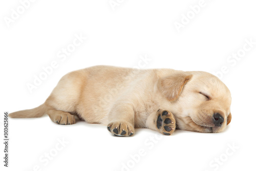 Obraz Labrador puppy isolated on white background - fototapety do salonu