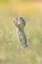 Cute Ground Squirrel In The Na...