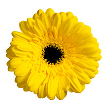 Top View Of Yellow Gerbera Flower. Isolated On White Background.