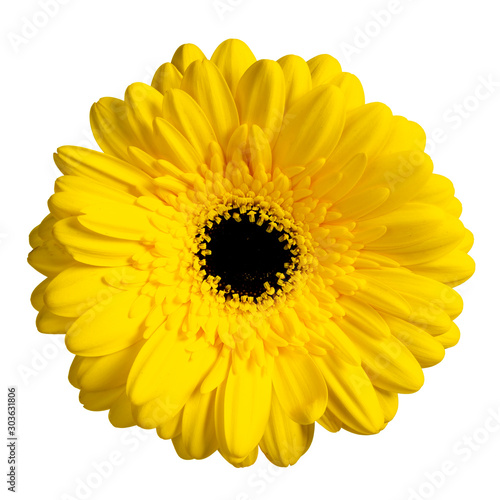 Top view of yellow Gerbera flower. Isolated on white background. Canvas Print