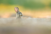 Cute Wild Rabbit In The Natural Environment, Wildlife, Habitat, Close Up, Oryctolagus Cuniculus
