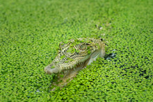 Salt Water Crocodile In The Pond