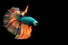 Multi Color Siamese Fighting Fish.Multi Color Fighting Fish Isolated On Background Background.