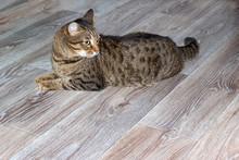 European Shorthair Cat Lies On...