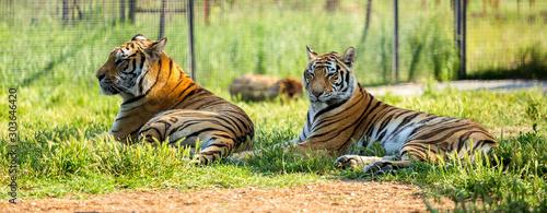 Photo sur Toile Tigre Tiger on the grass