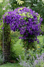 A Portrait View Of Royal Purple Jackmanii In Full Bloom On An Iron Arbor