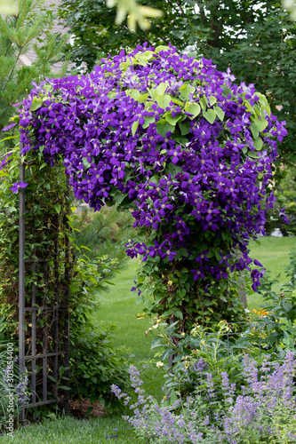 A portrait view of Royal Purple jackmanii in full bloom on an iron arbor Wallpaper Mural